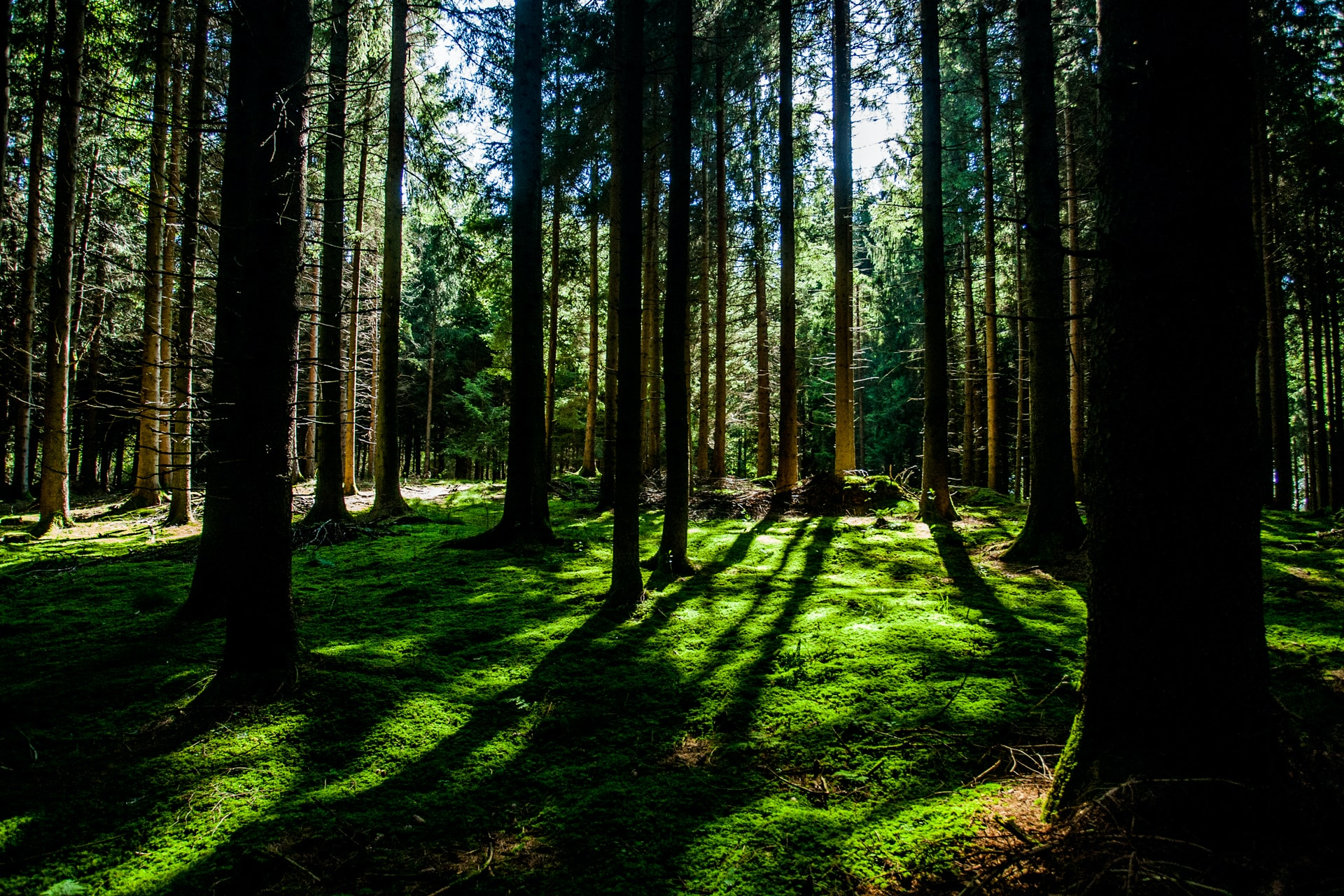 Tall trees casting long shadows on the mossy green ground cover