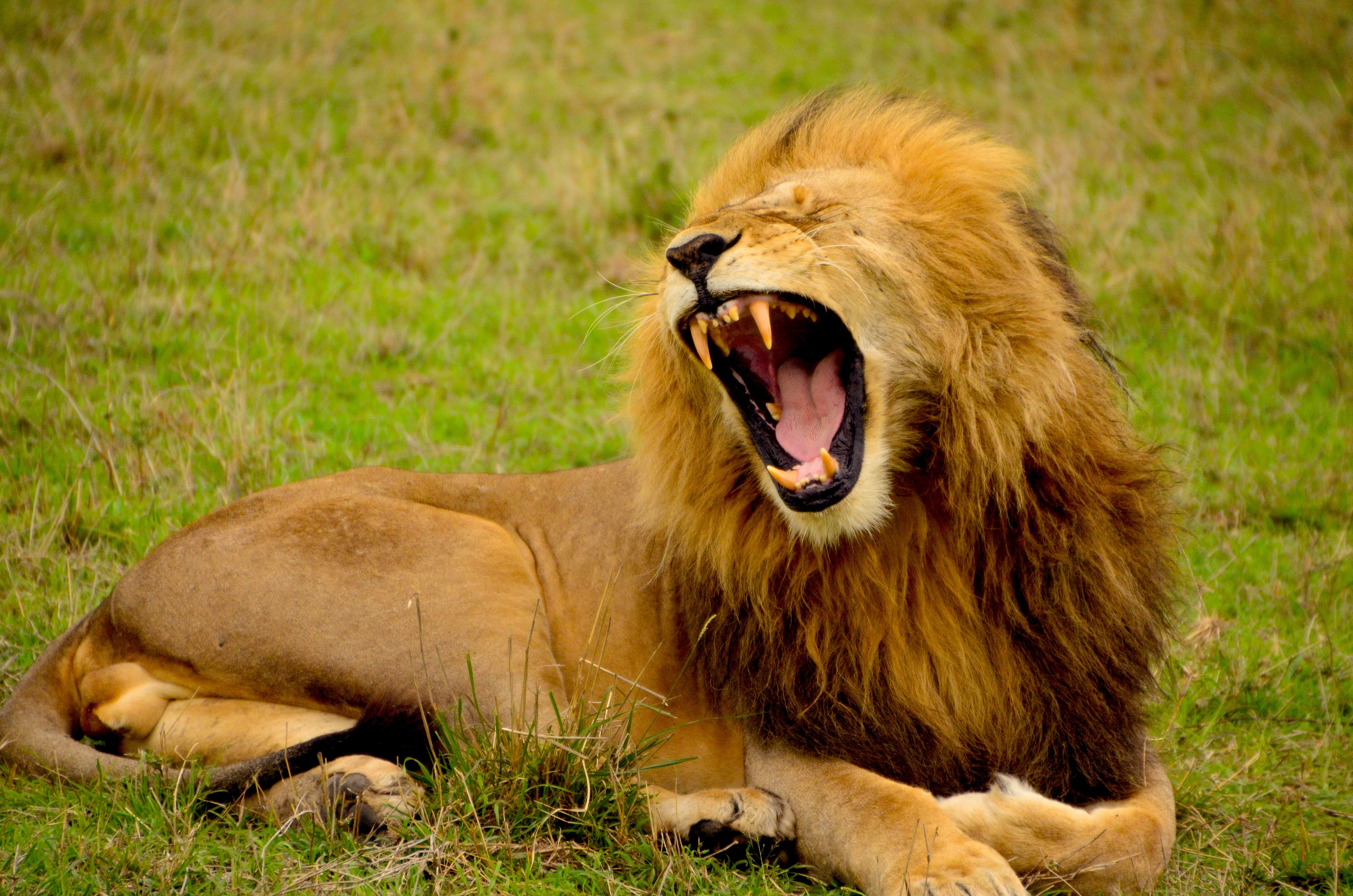 A male lion roaring while lying on grass