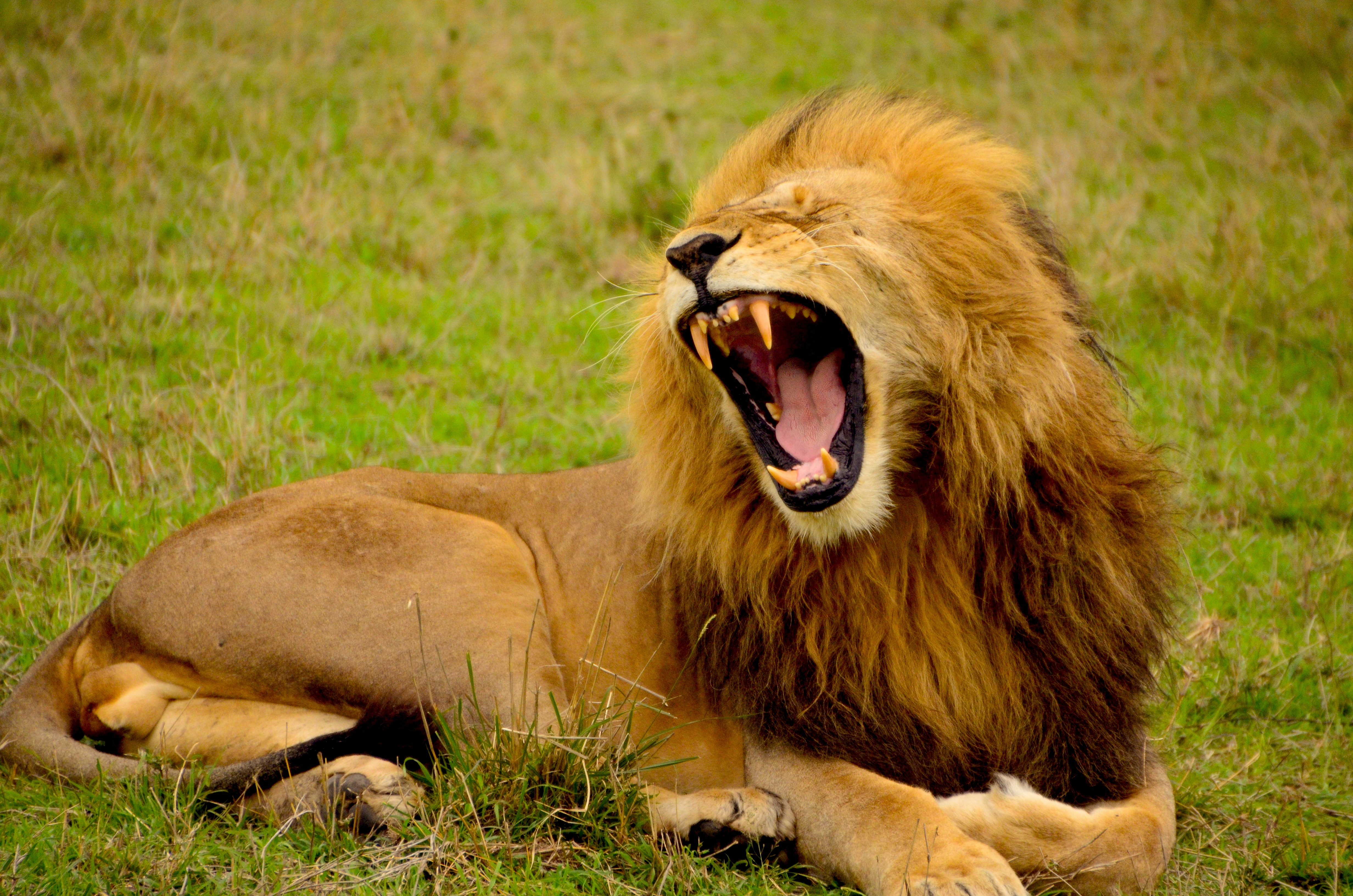 20 Lion Pictures Images Download Free Images Stock Photos