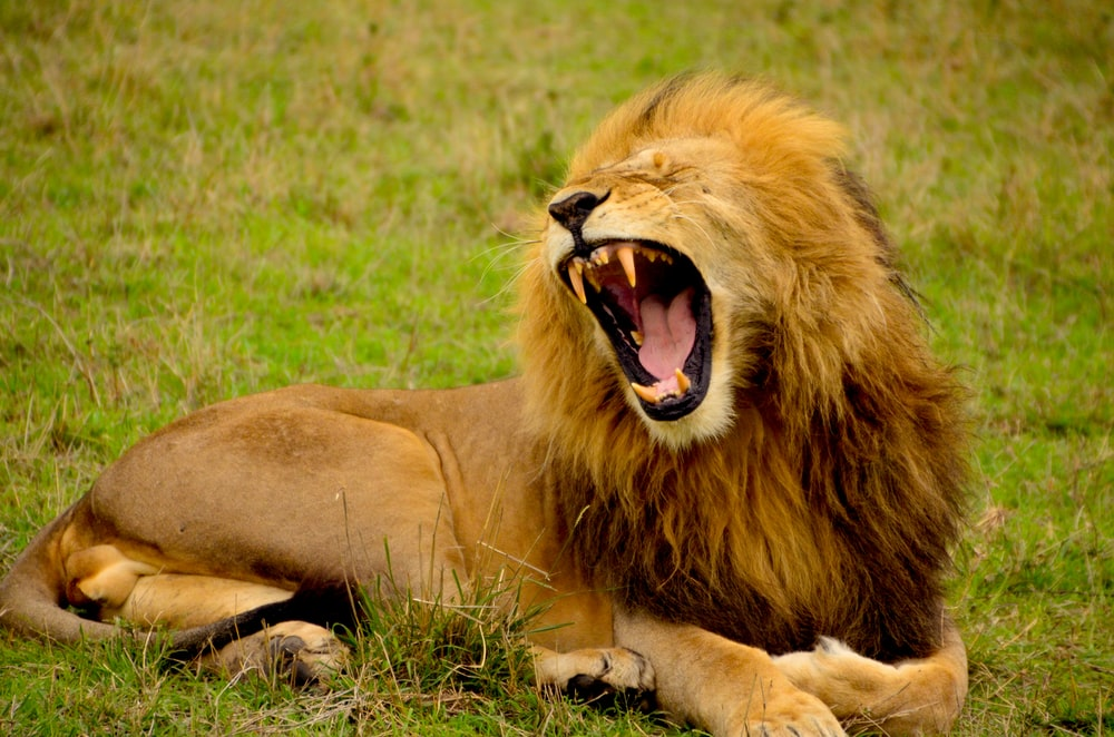 lion lying on green grass at daytime