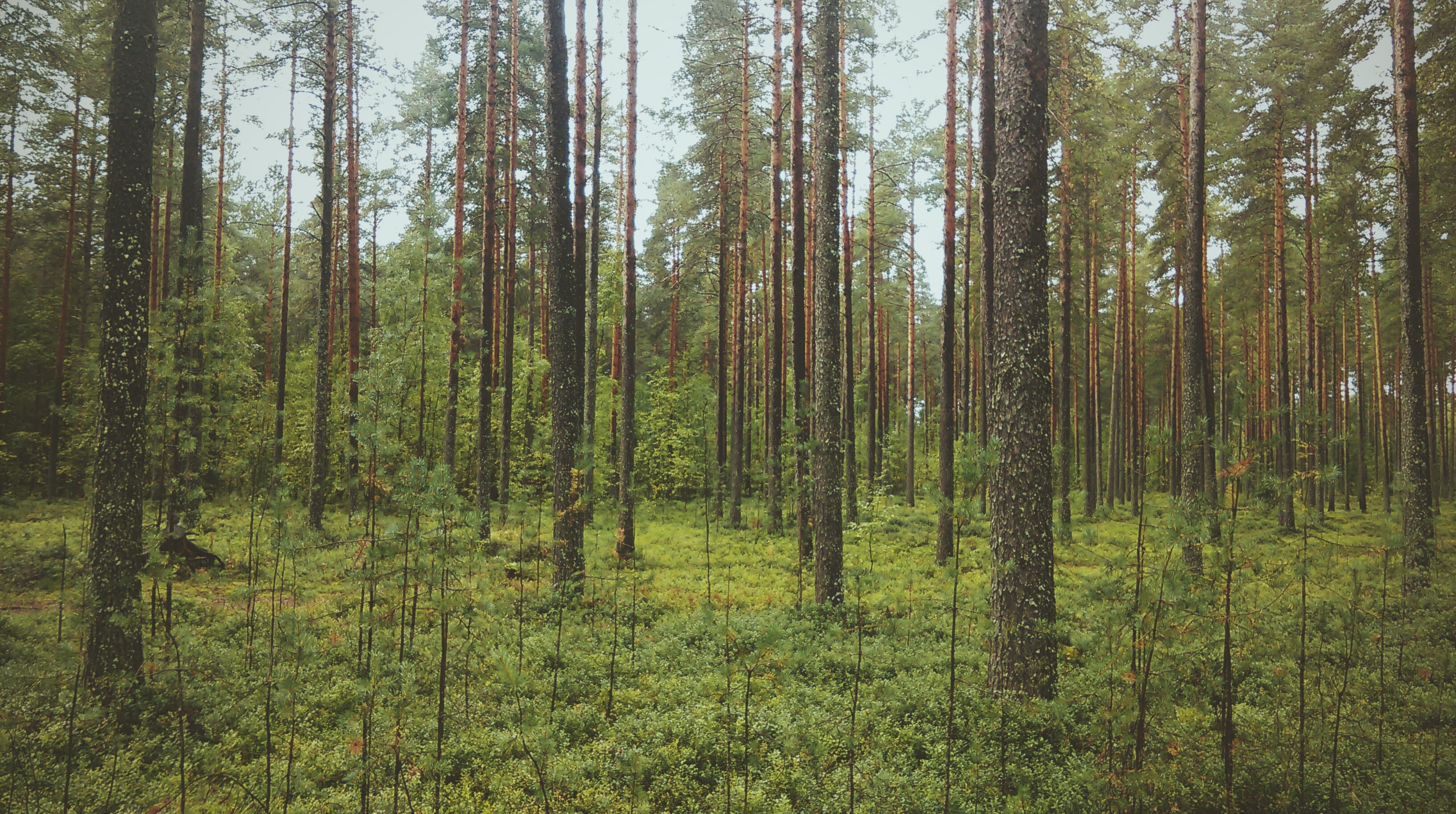 Thin tree trunks and saplings in a coniferous forest