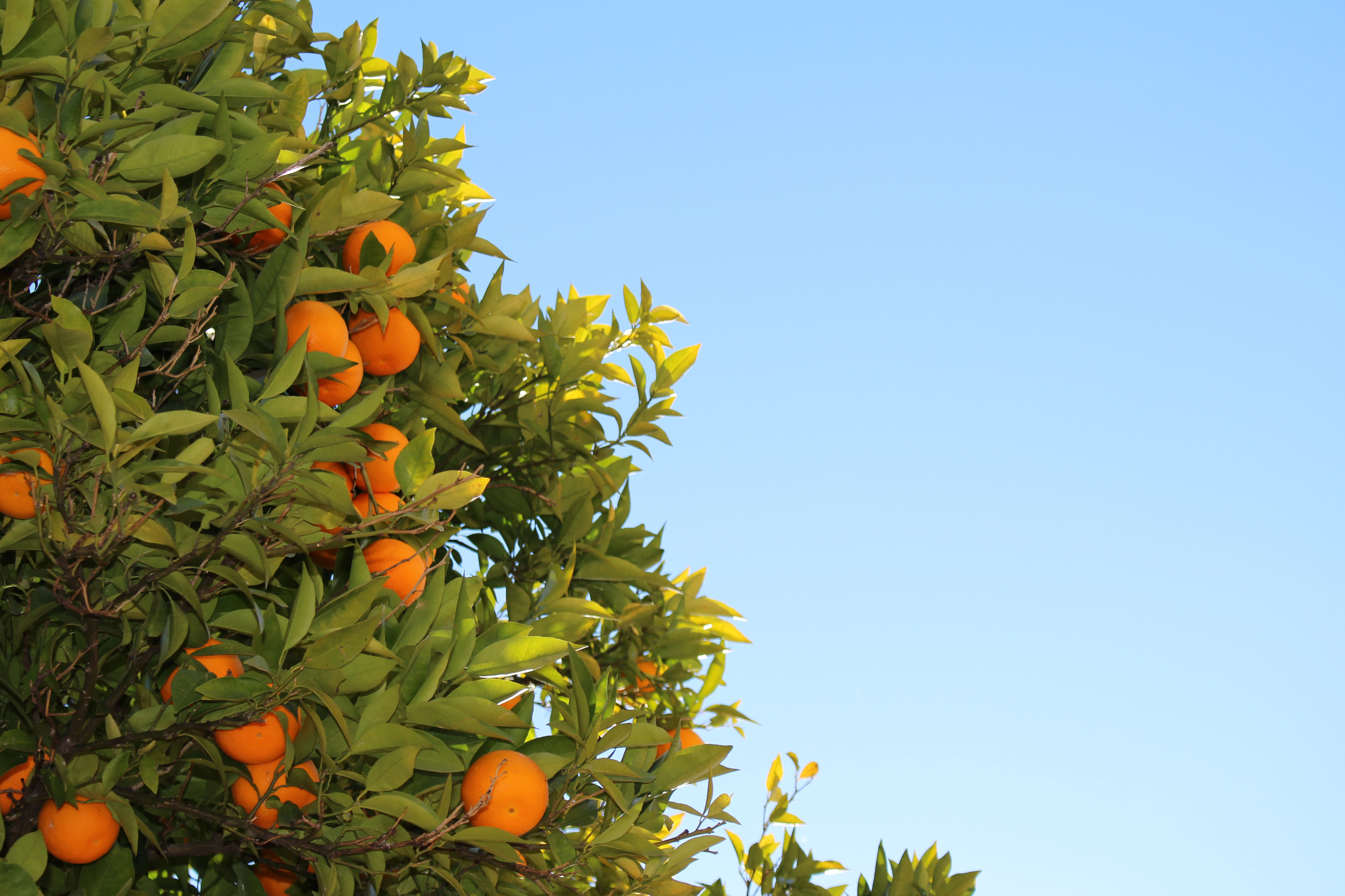 orange fruits in tree