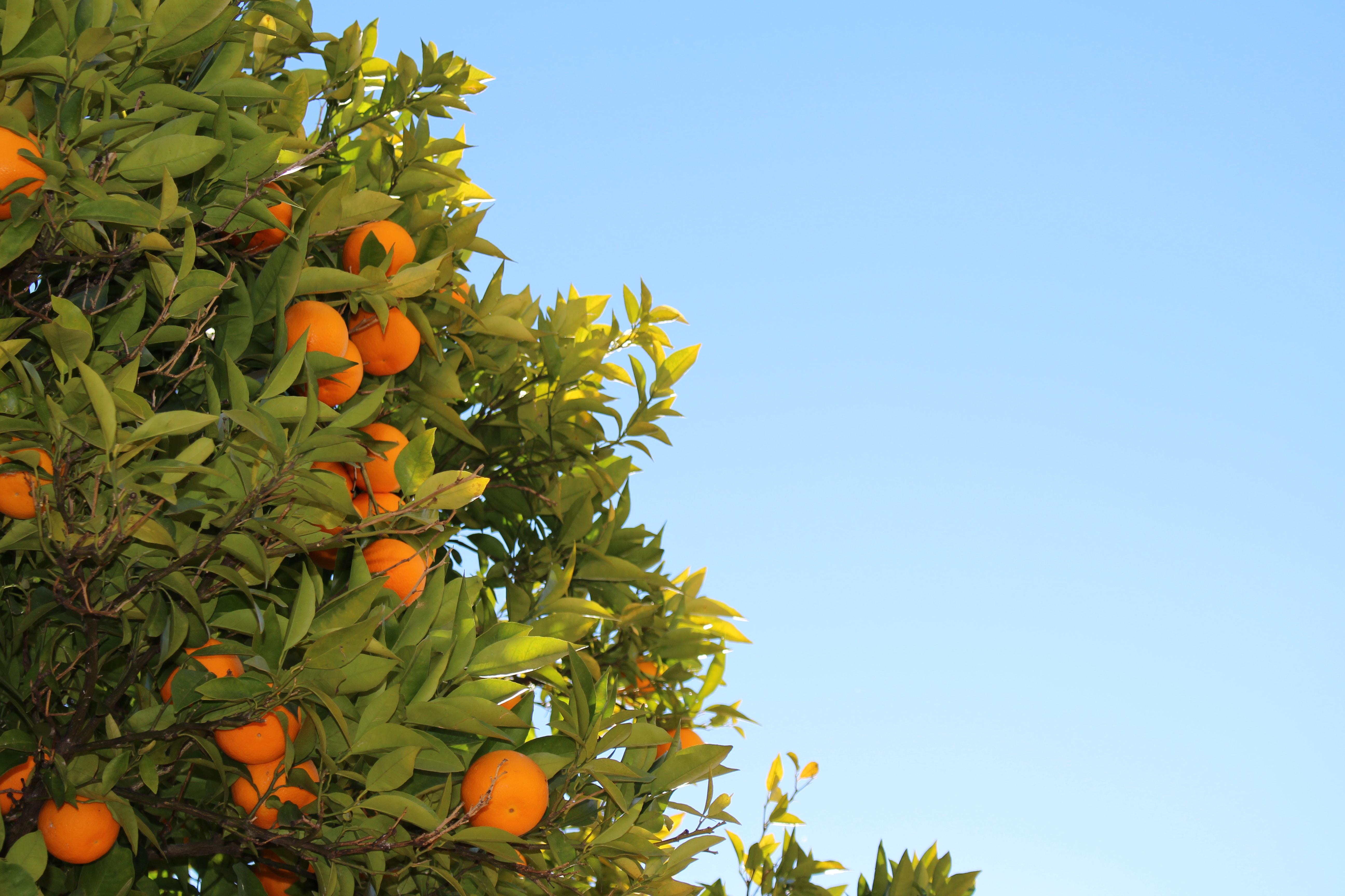 orange fruits in tree
