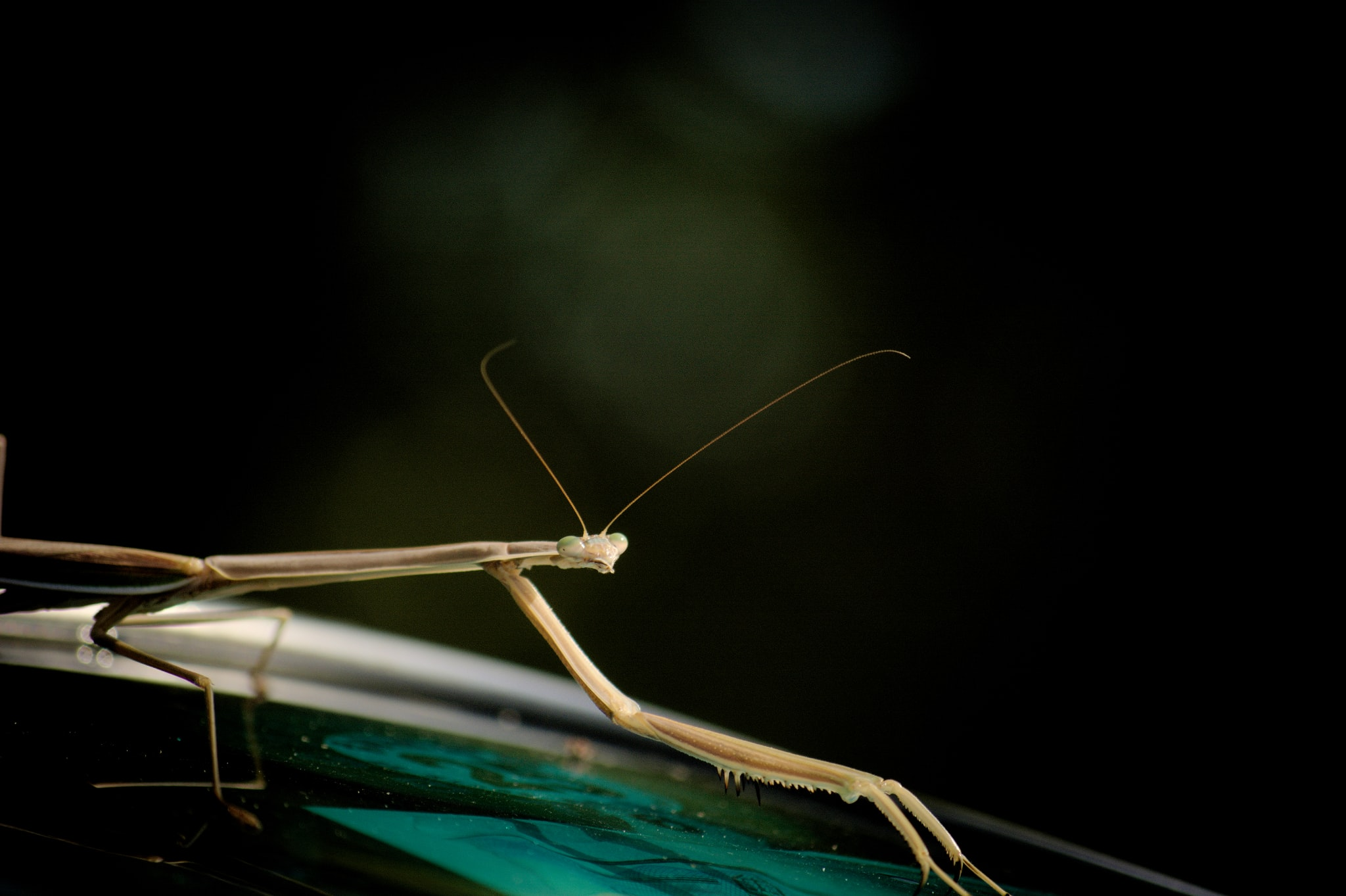 Praying Mantis stalks an insect in the wild