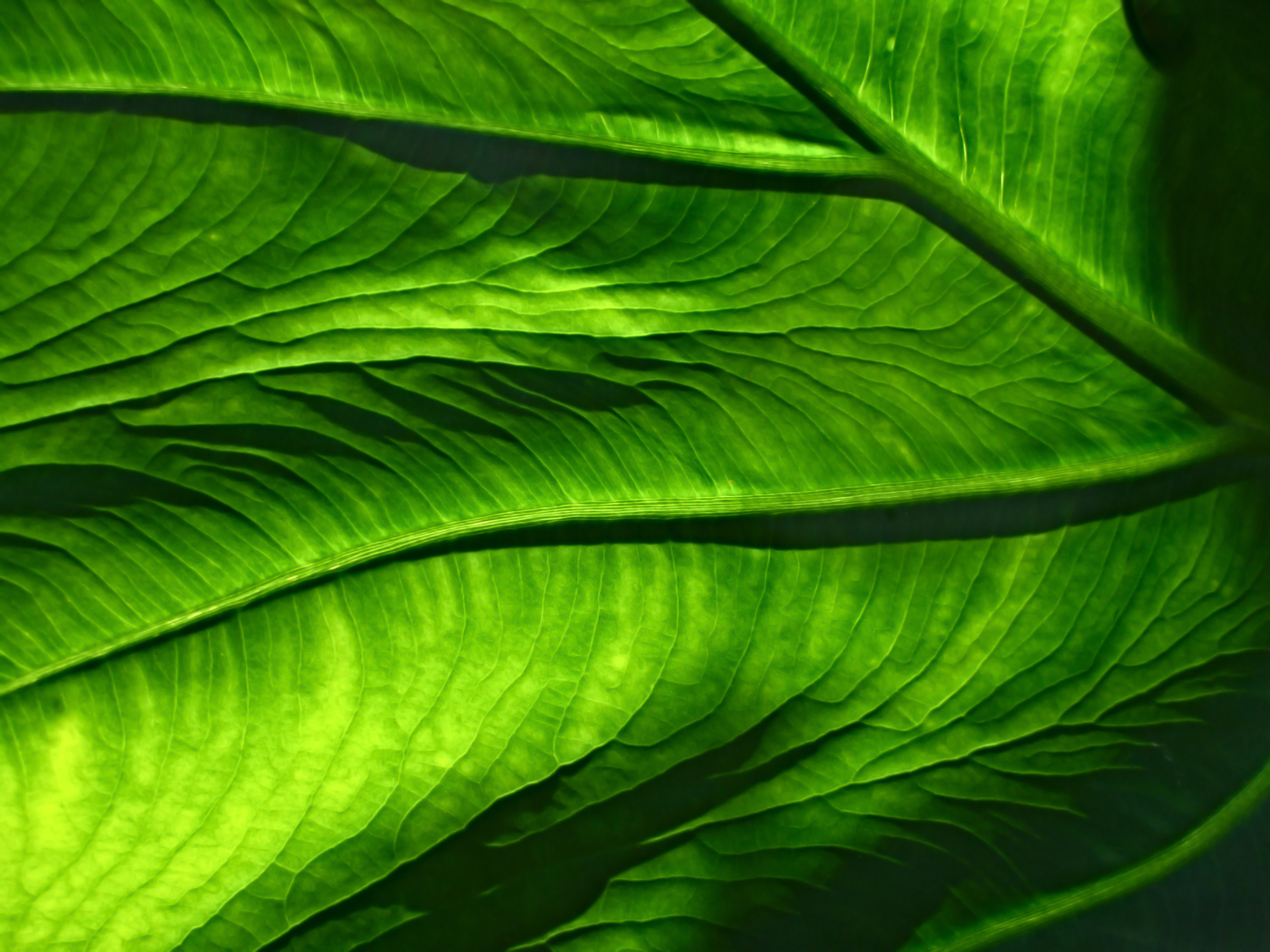 A macro shot of the veiny, translucent surface of a green leaf