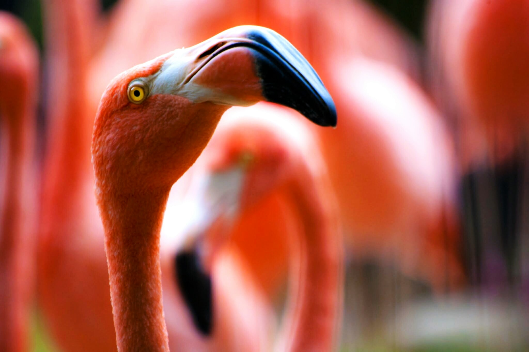Macro of a Flamingo looking up among a group of flamingos in the background