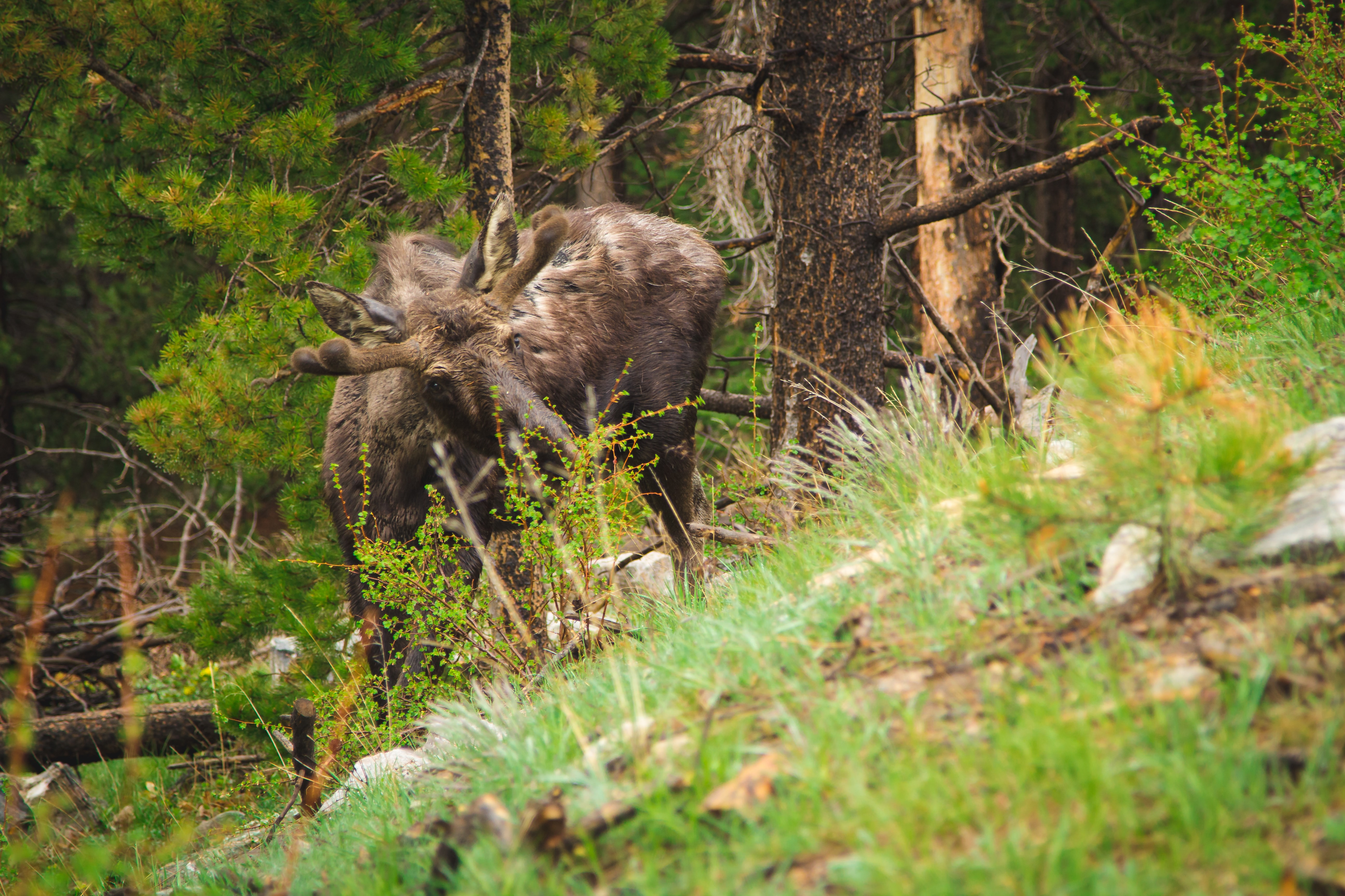 A moose in the forest, partially obscured by green brushes