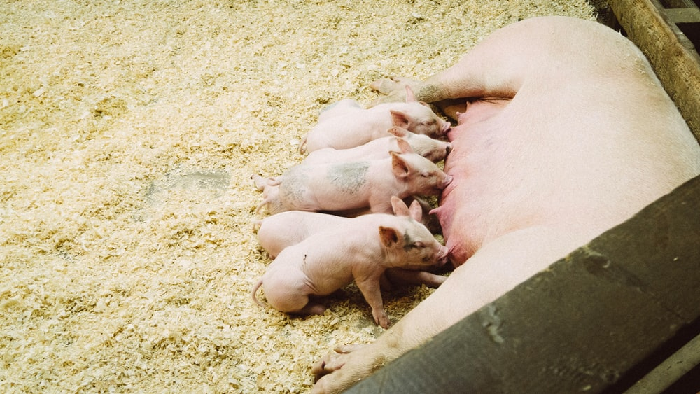 pink pig with piglet litter