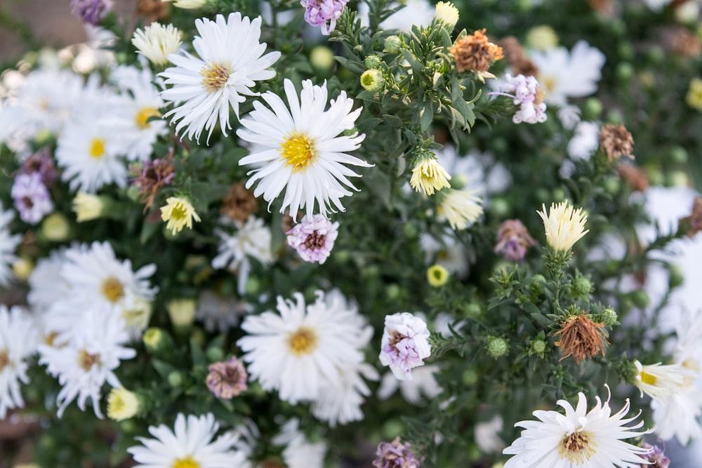 tilt shift lens photography of white daisies