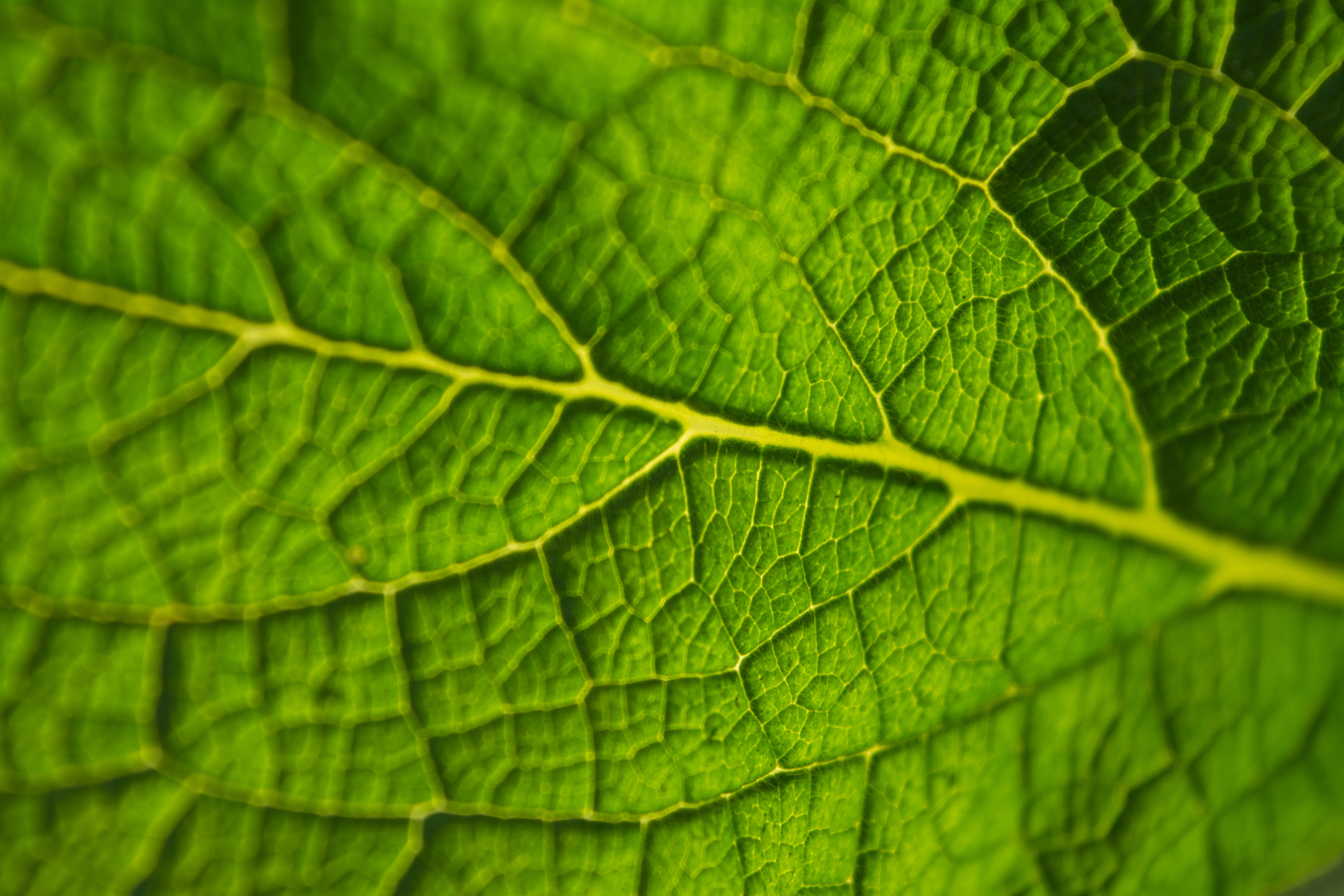 A macro shot of the surface of a translucent green leaf covered with a series of tiny veins