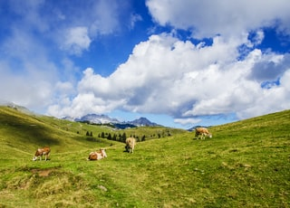 herd of cattle under cloudy sky at daytime