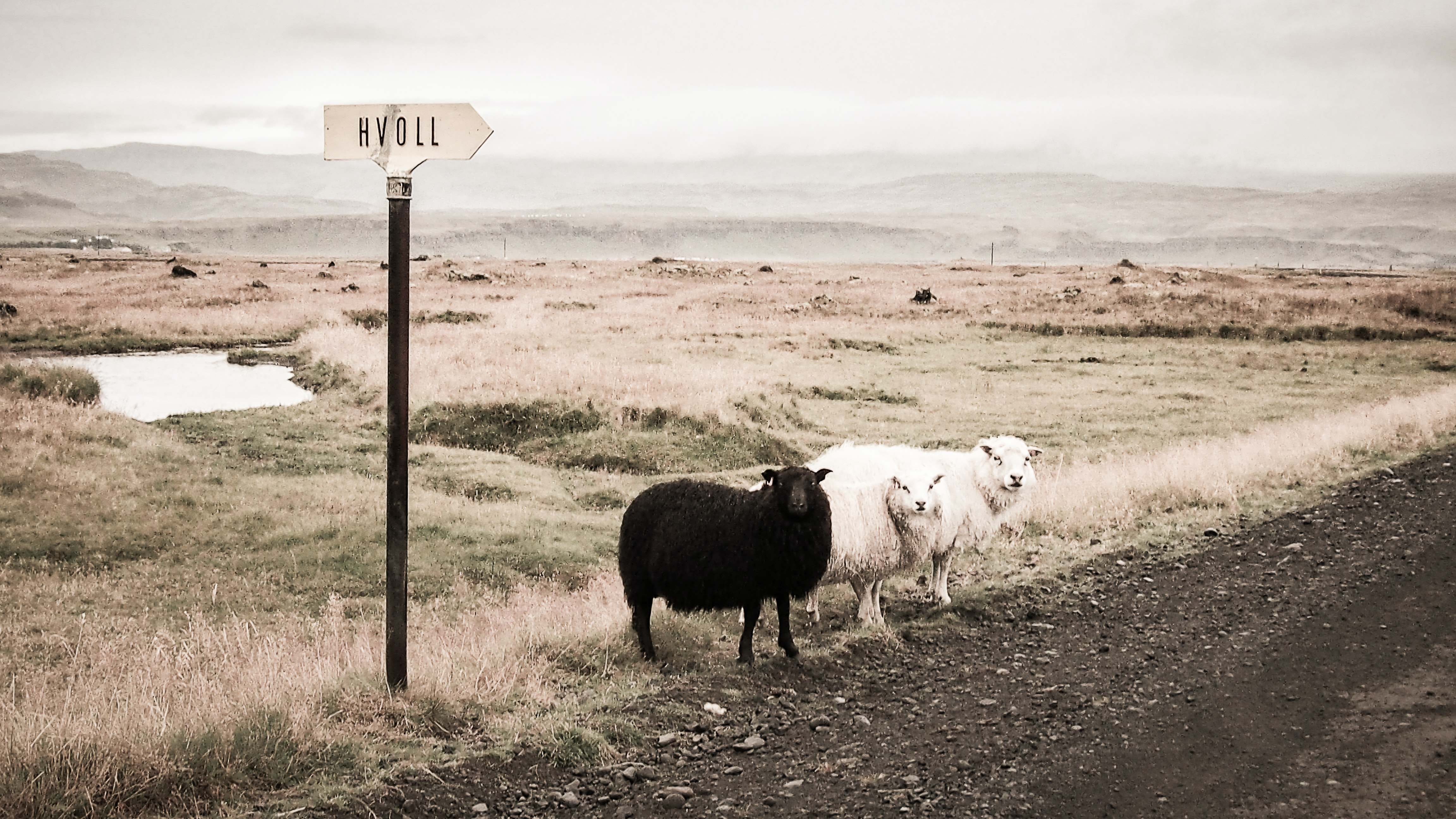 two white and one black lambs beside road