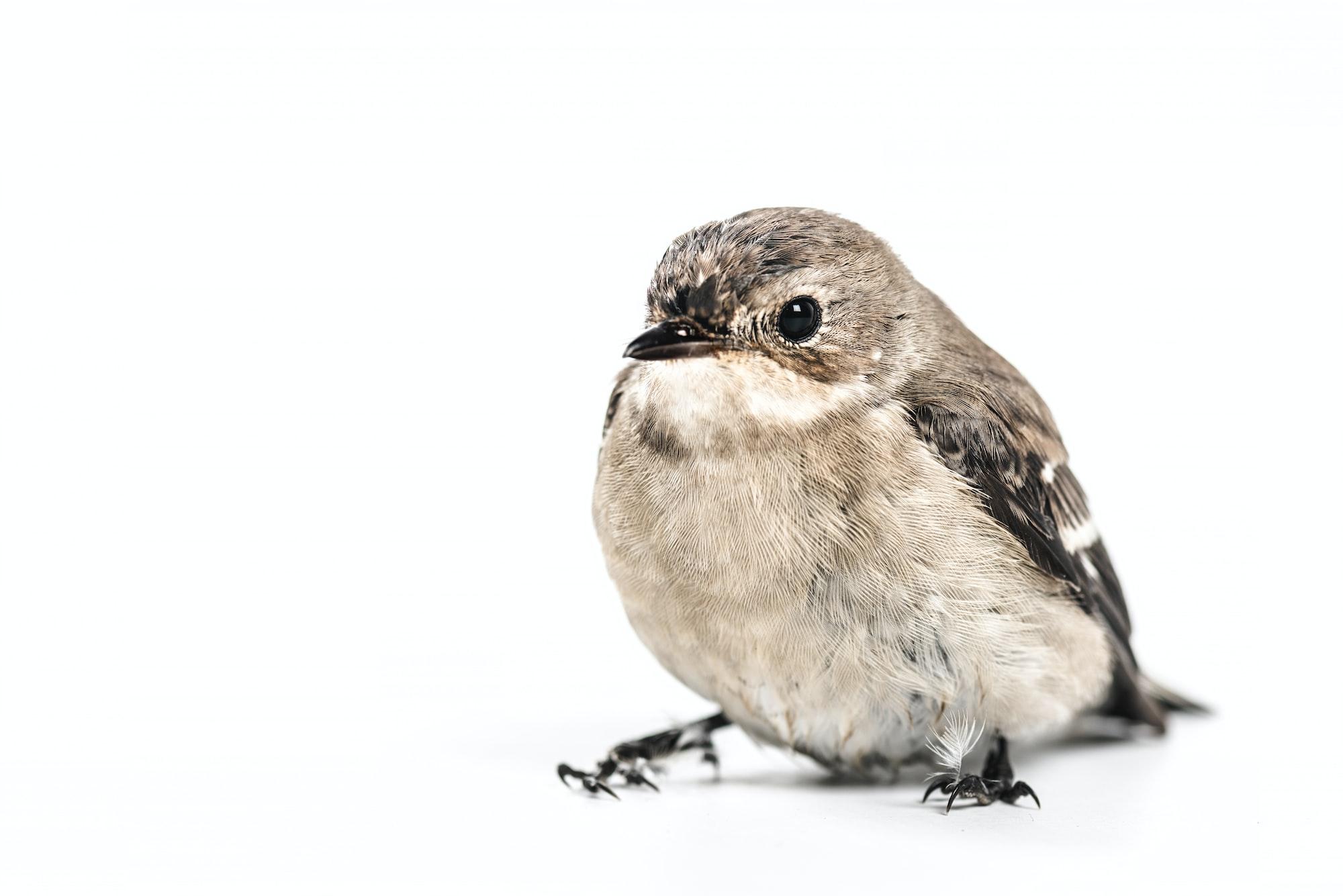 Chickadee on white