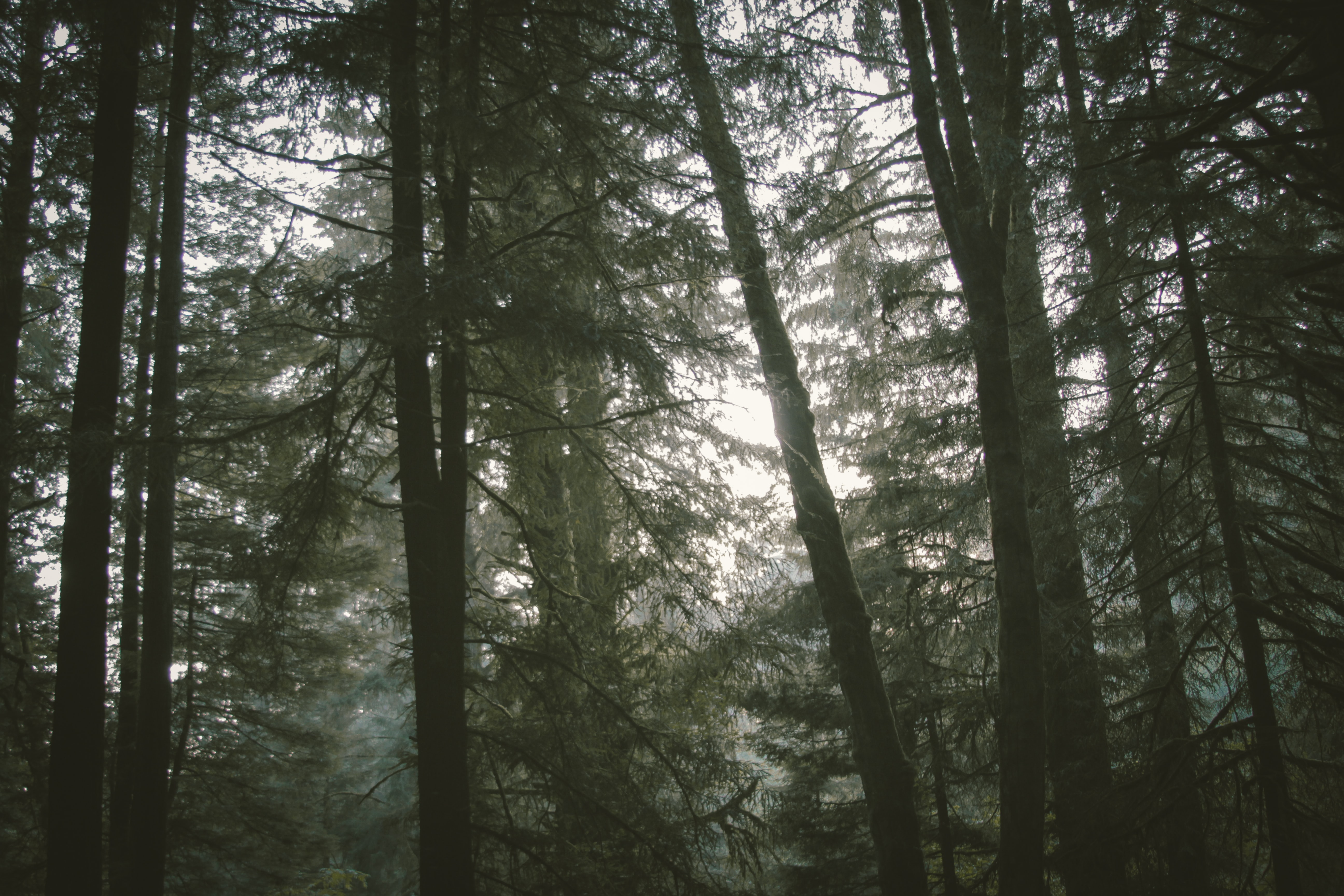 Pale white sky behind trees in a dense forest