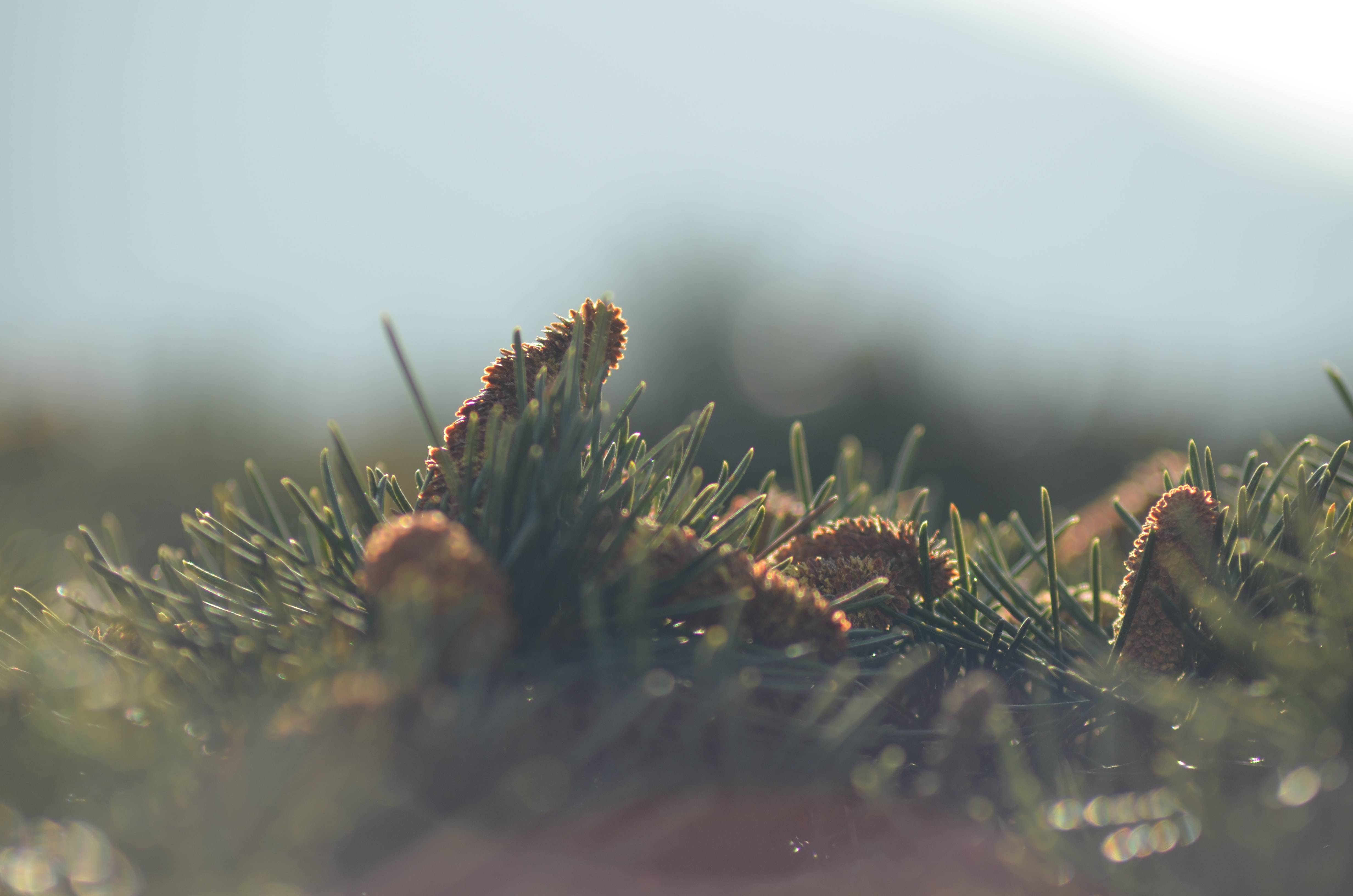 A close-up of pine cones surrounded by pine needles against a blurry background
