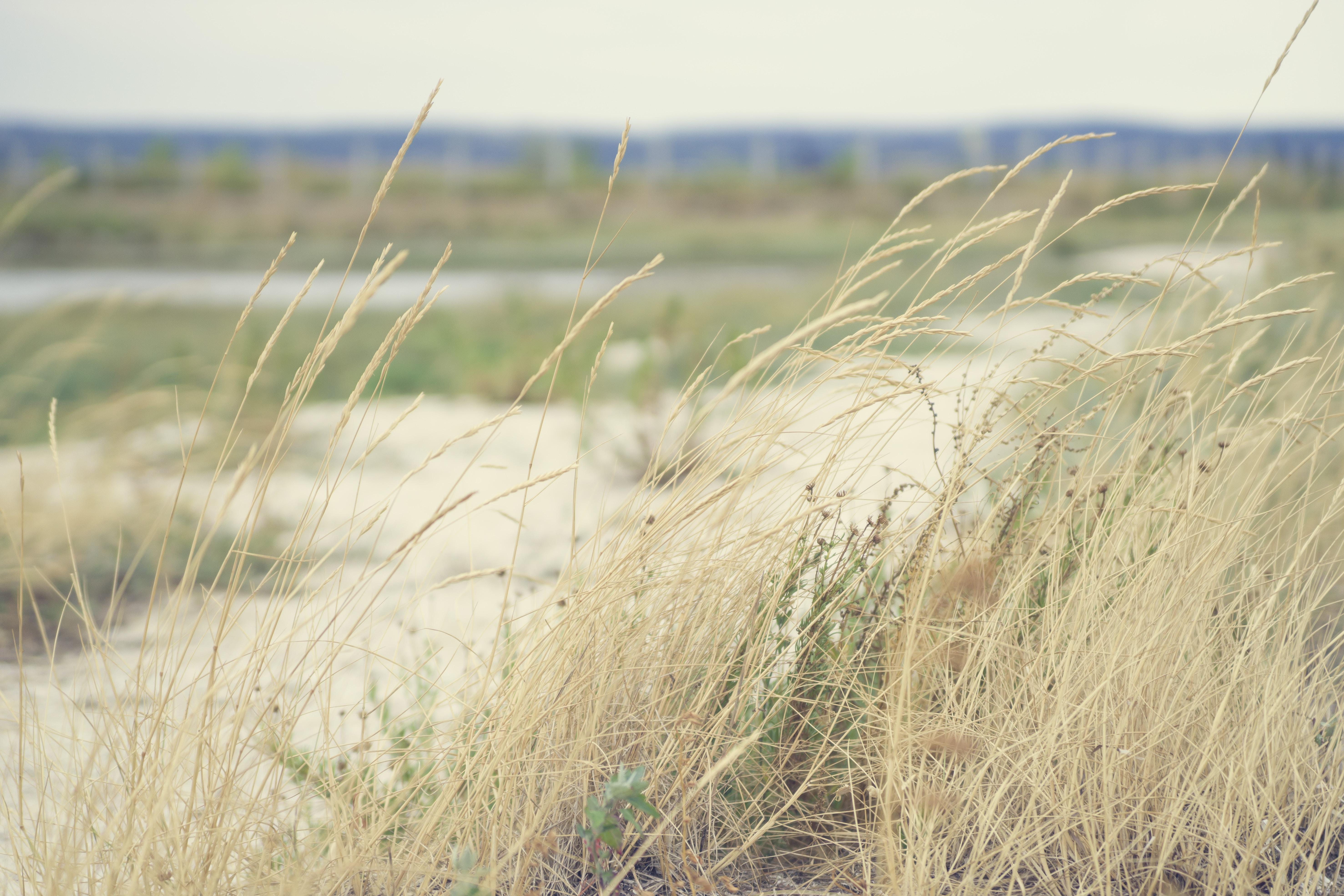 Long grass blows in the wind in prairie landscape