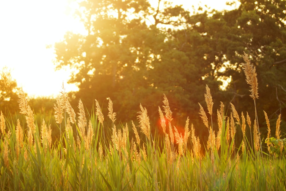 scenery of a grassfield during sunset