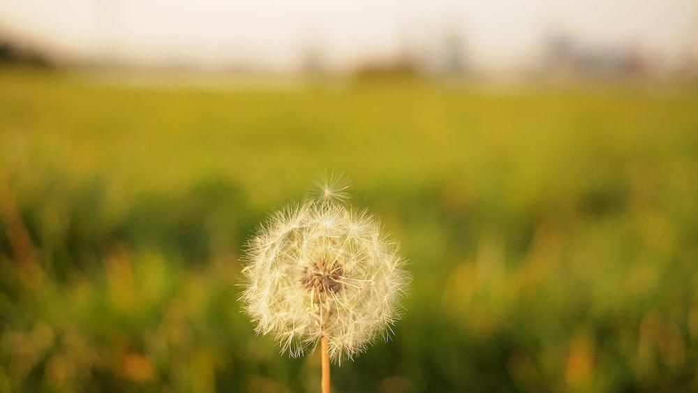 tilt shift lens photography of dandelion