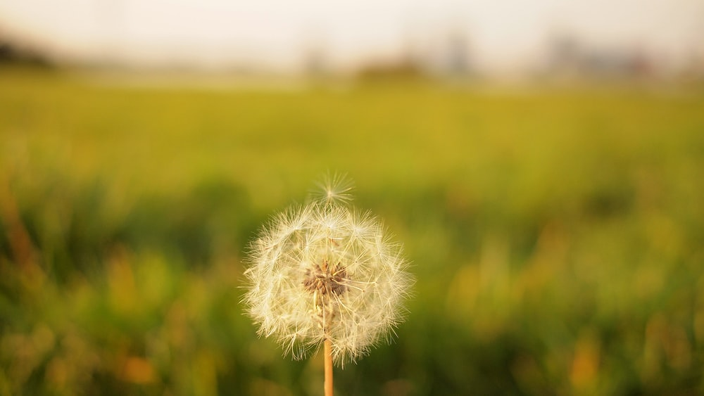 tilt shift lens photography of dandelion