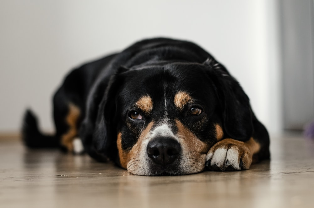 short-coated black and brown dog lying down on brown surface