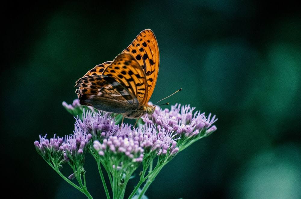gulf fritillary butterfly perched on purple flowers