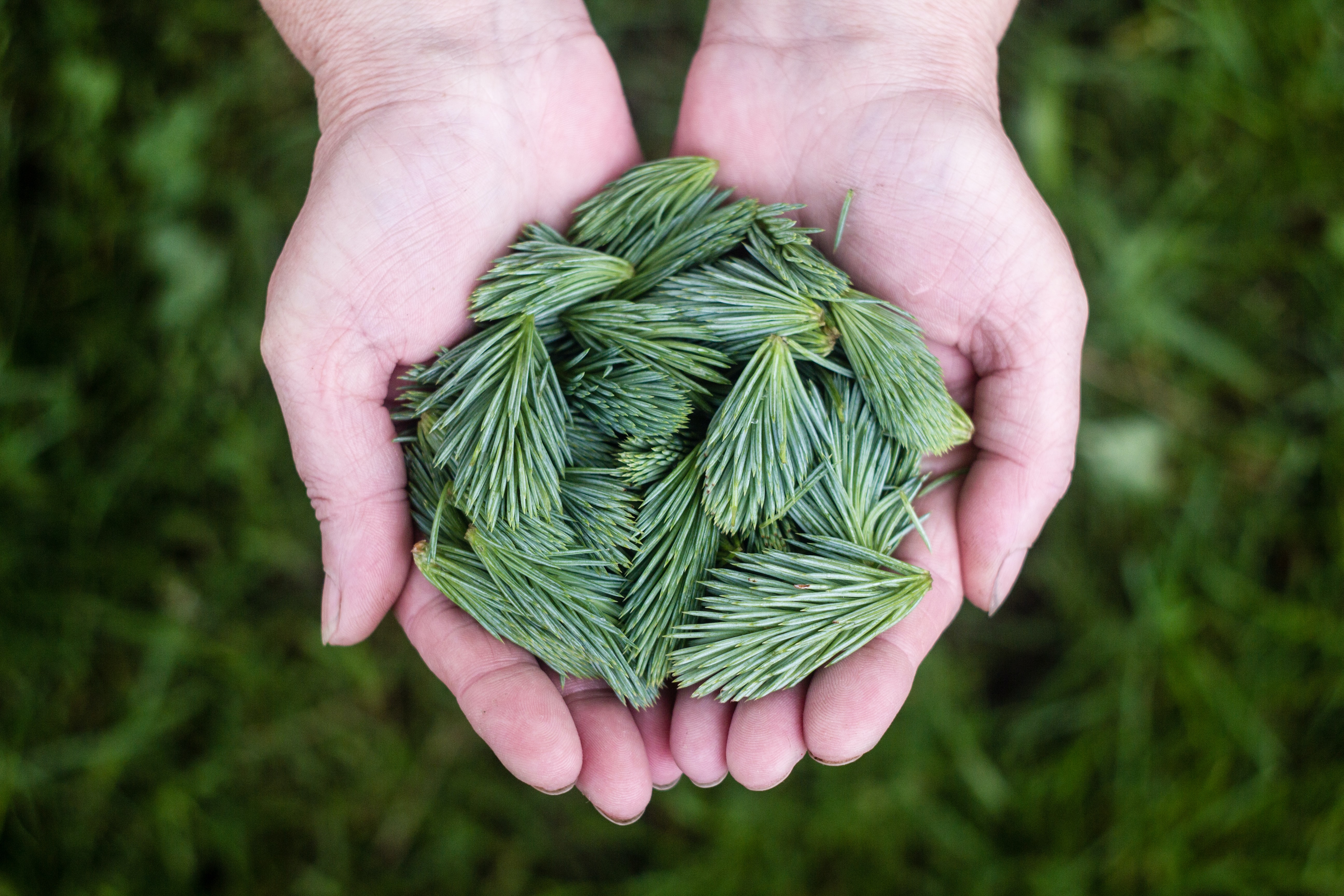 A person's cupped hands holding green branchlets of pine needles