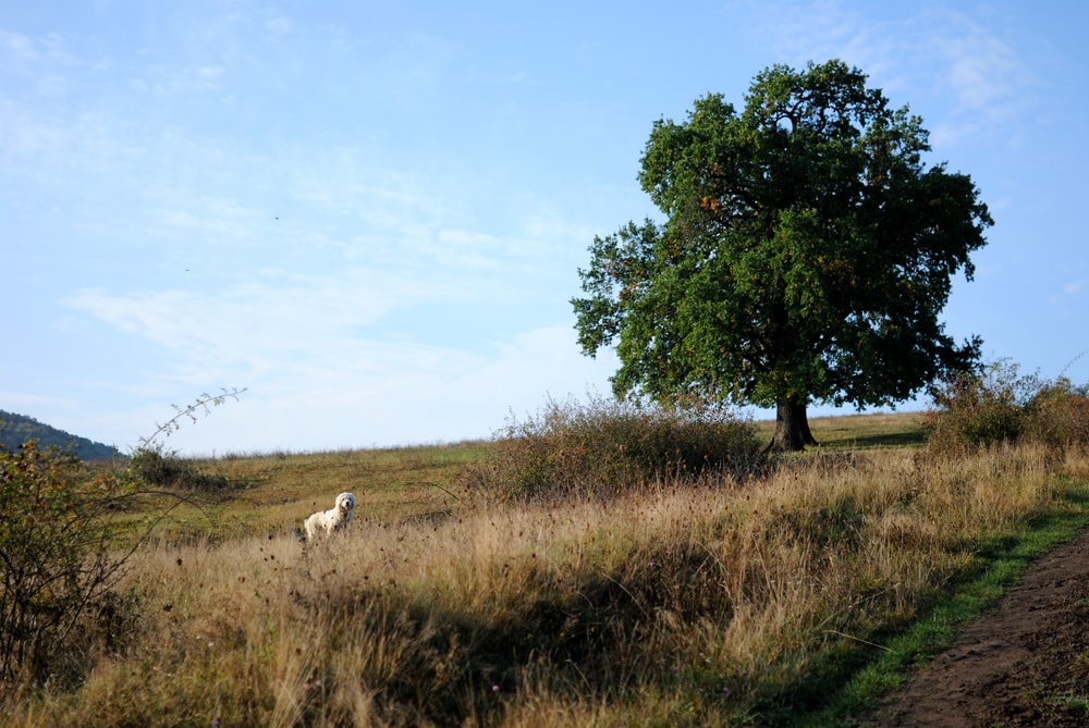 white animal standing on grass field