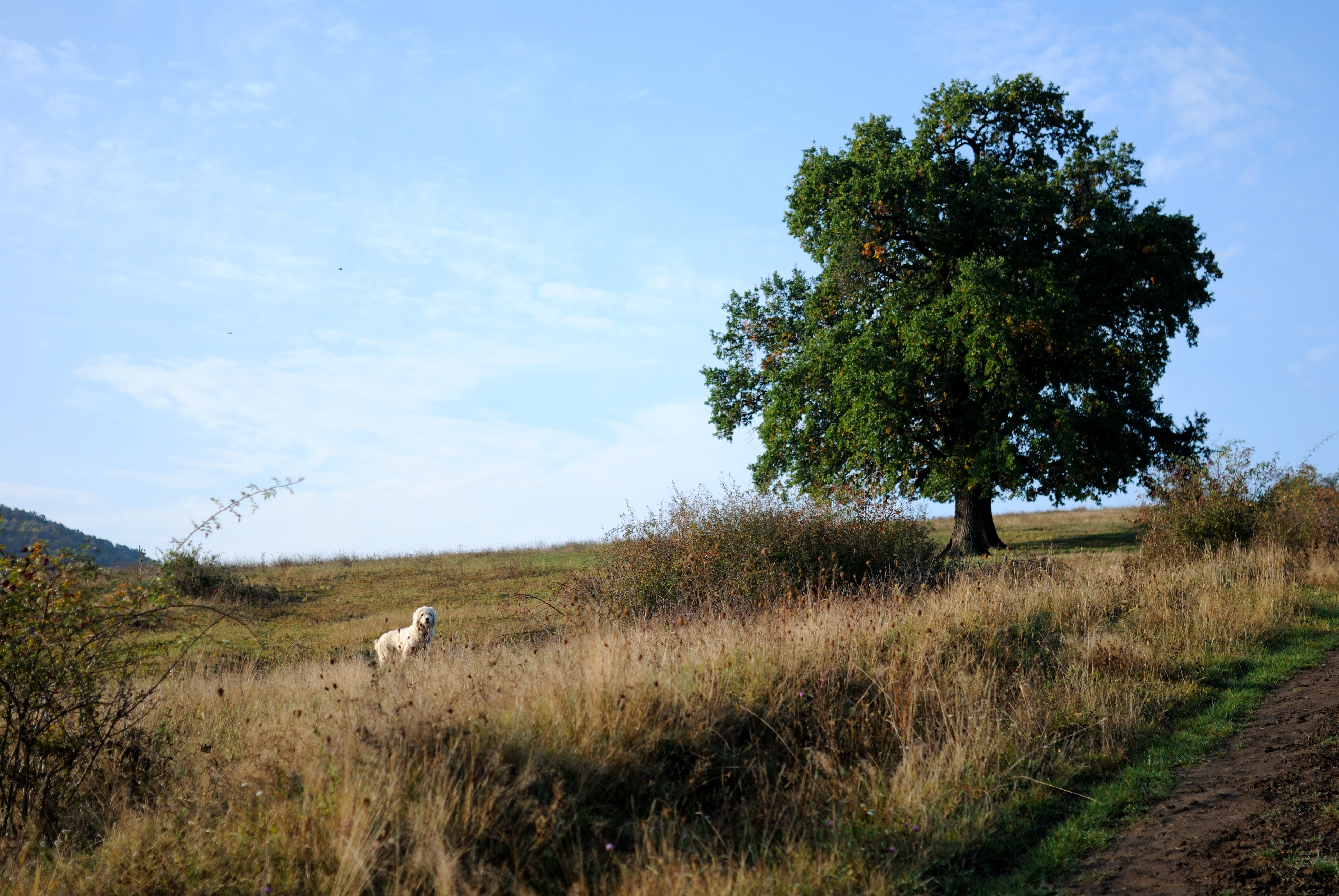 A rural landscape with a white poodle standing in the grass near a shady tree