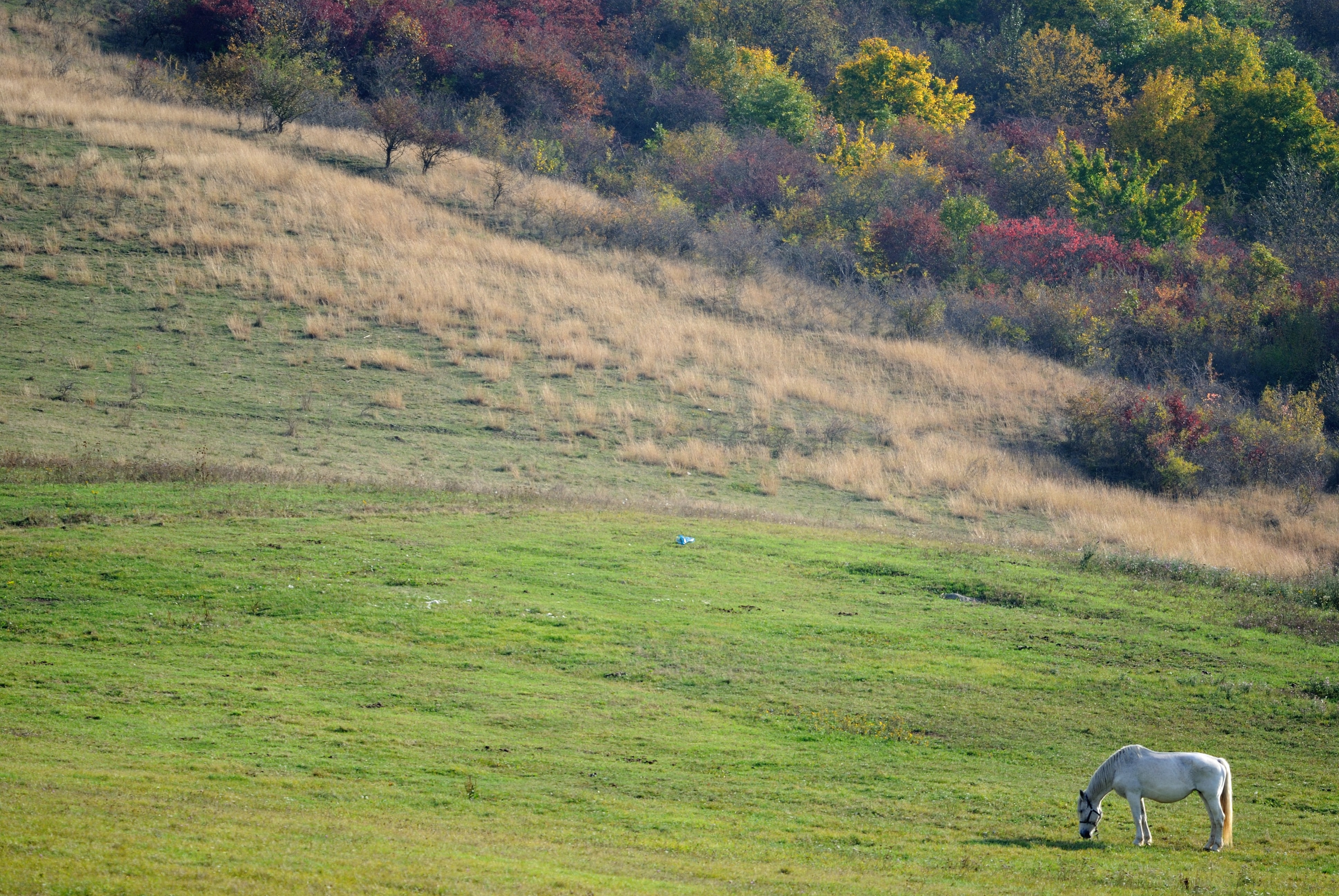 A lone gray pony grazing on a green slope