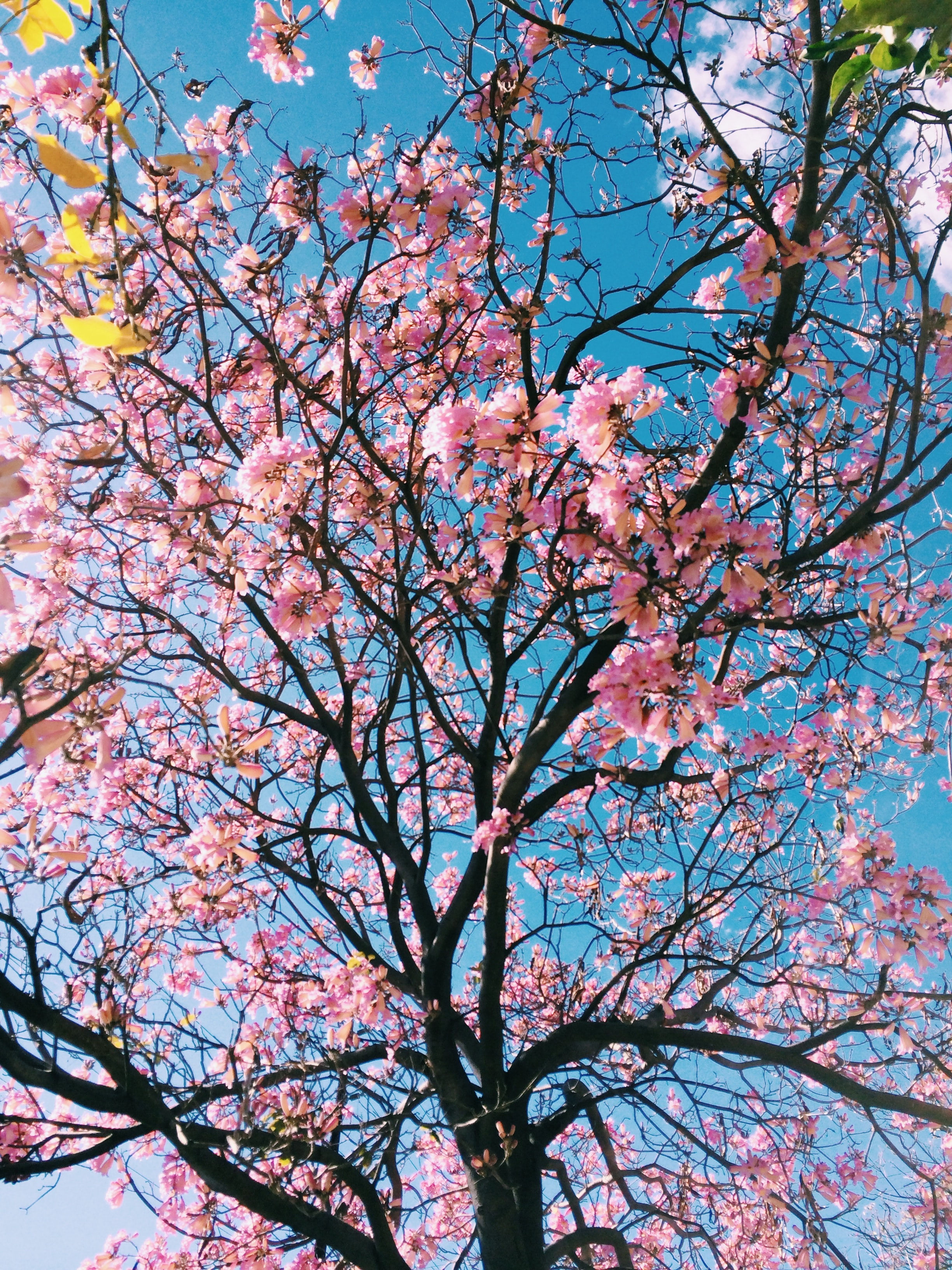 A low-angle shot of pink-flowered cherry blossom tree
