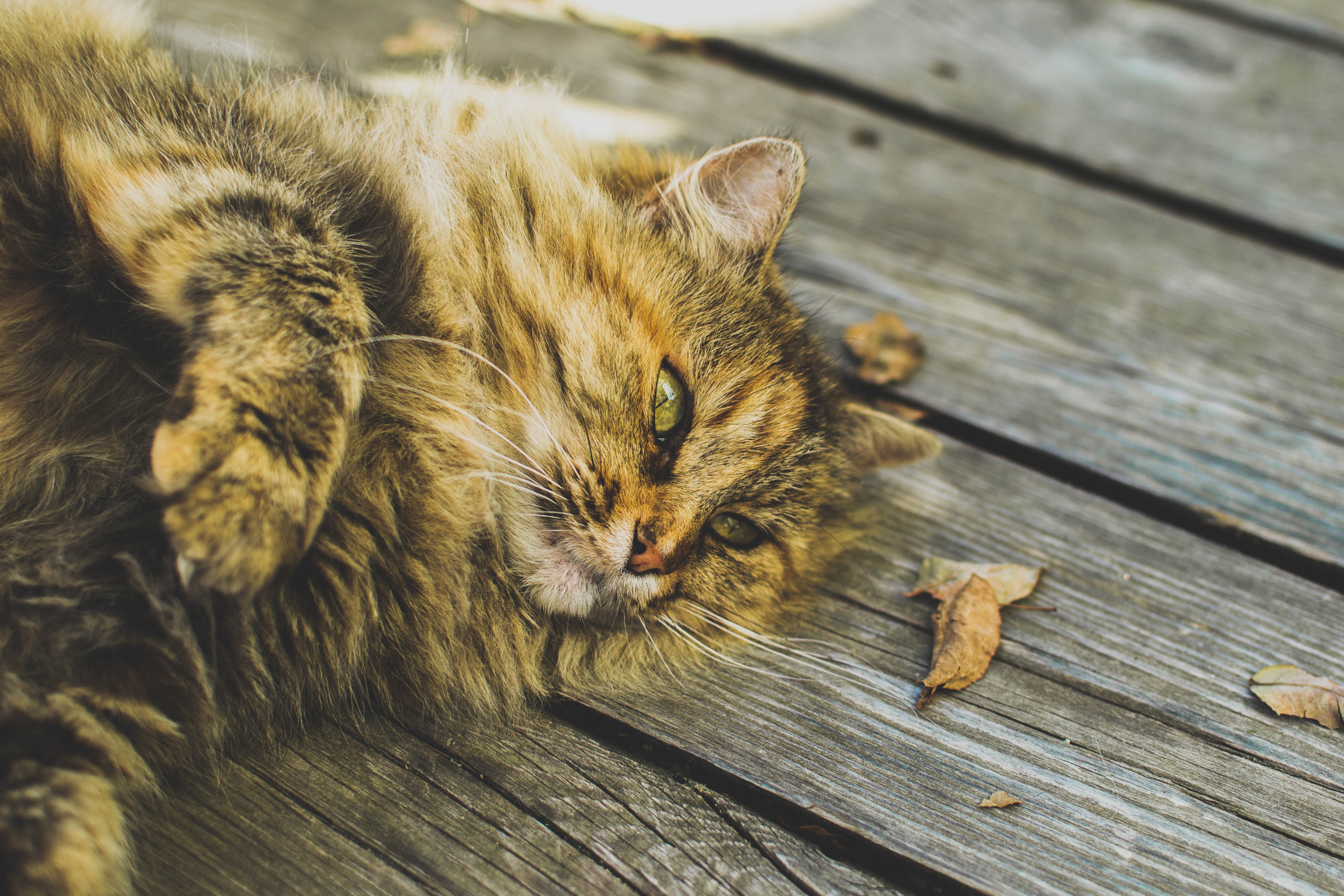 Long haired cat lying on the wooden boards with fallen leaves