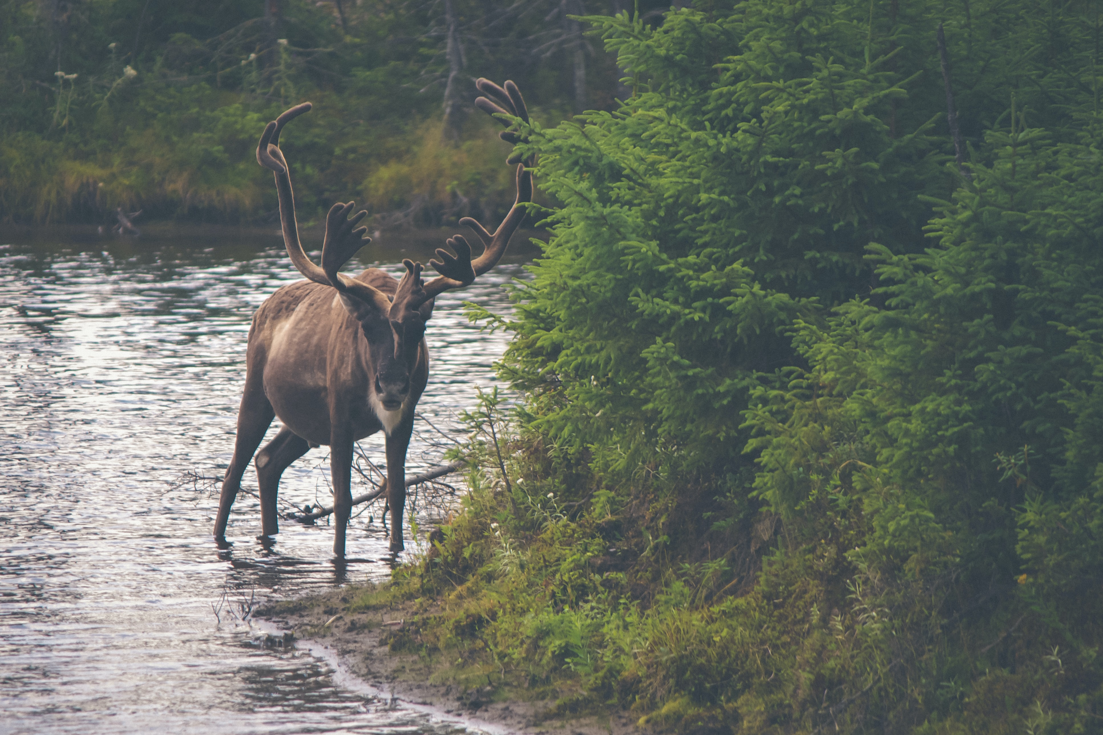 A reindeer wading in a shallow stream near a tuft of conifers