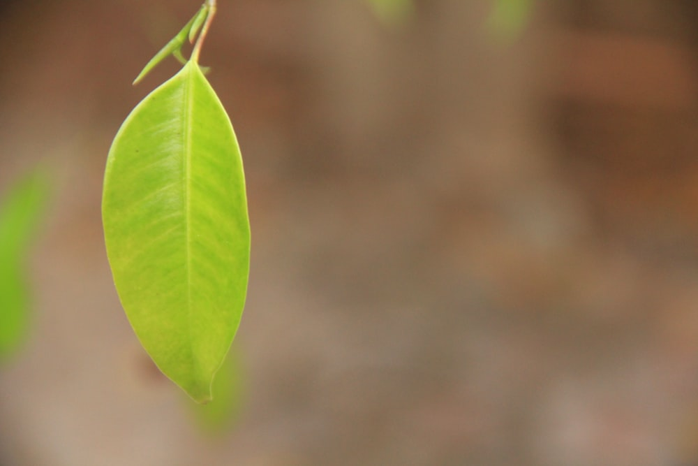 green ovate-leaf plant