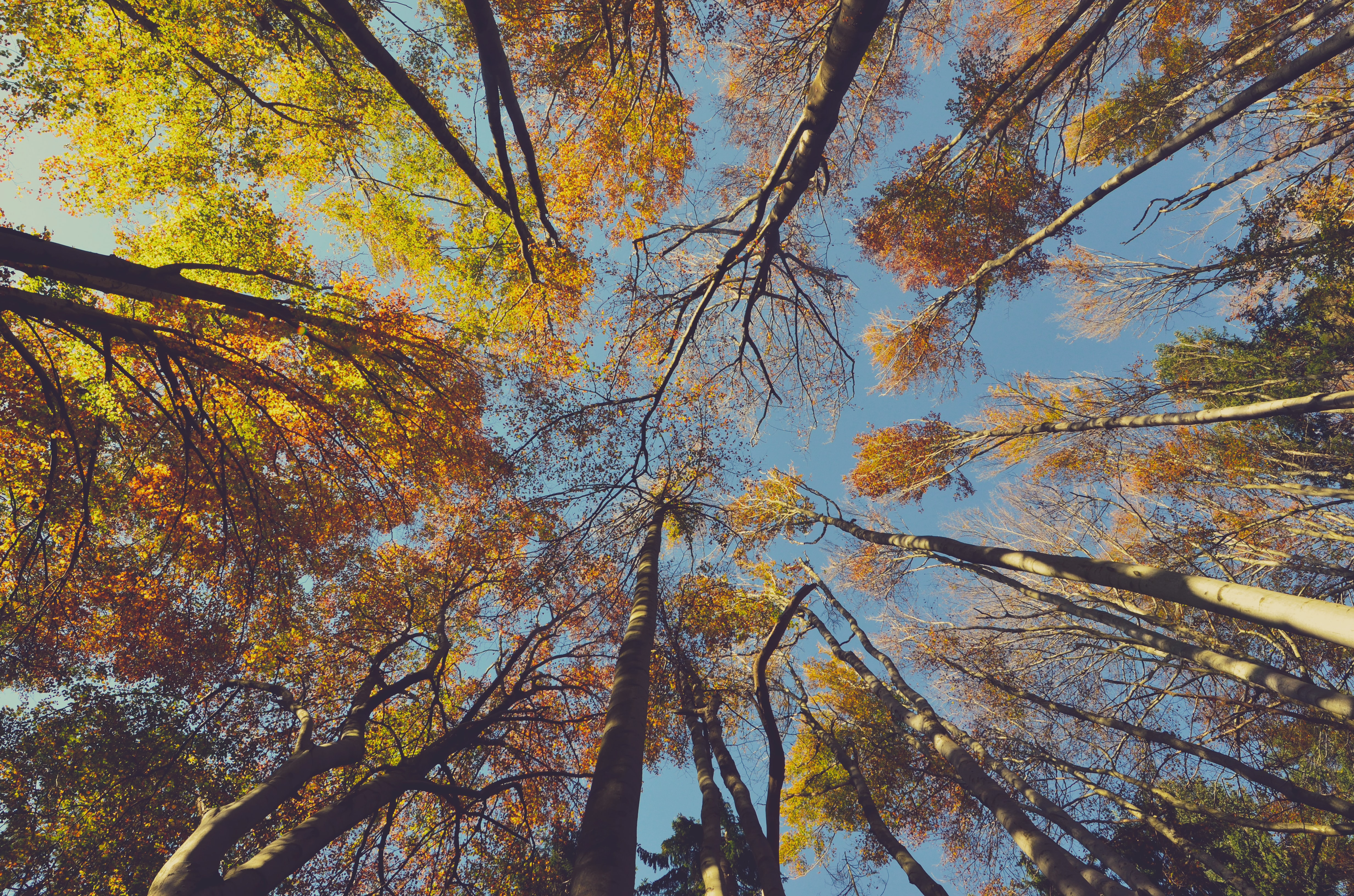 A low-angle shot of the yellow and orange canopy of tall autumn trees