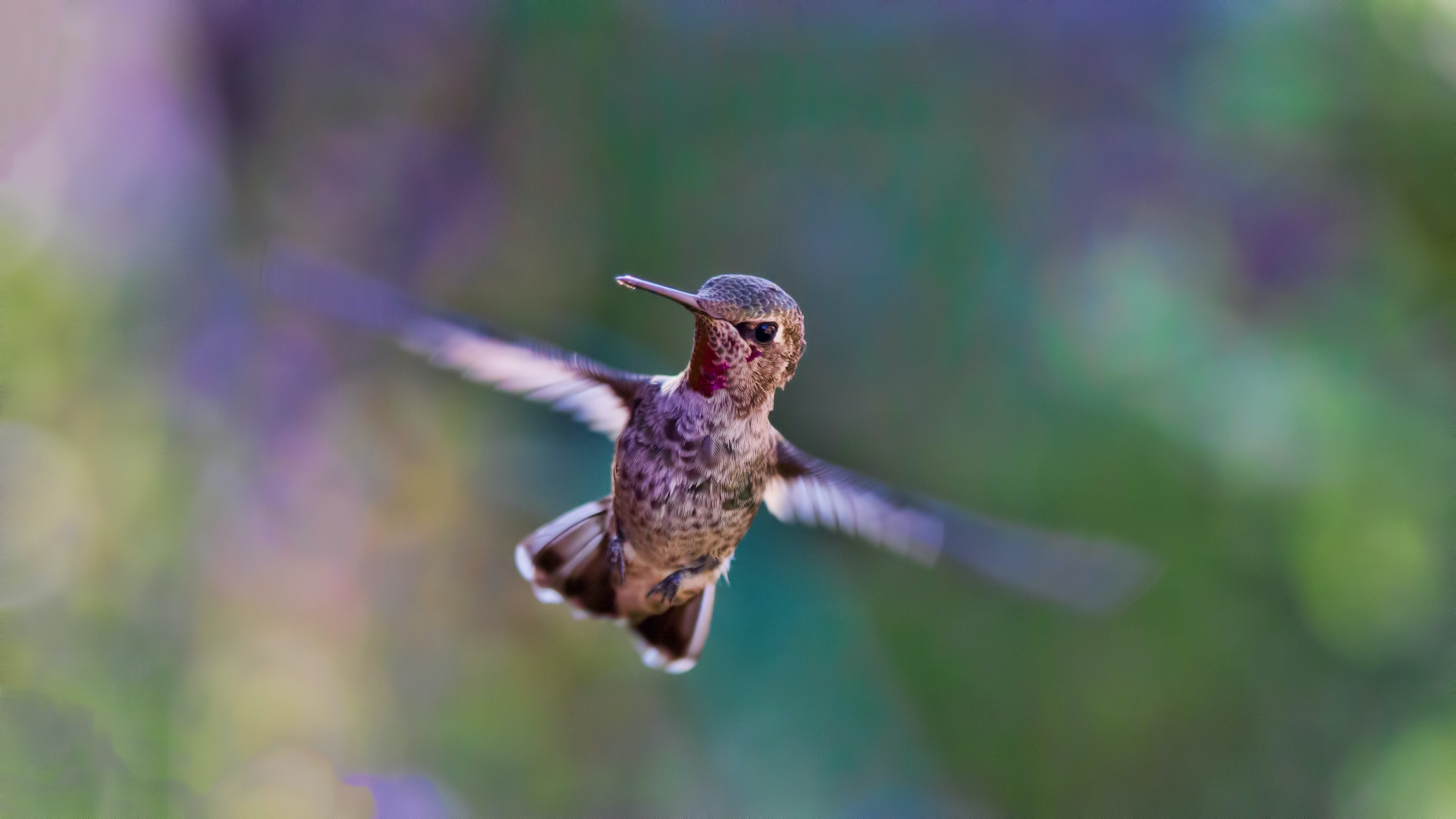 A close-up of light brown hummingbird fluttering its wings in flight