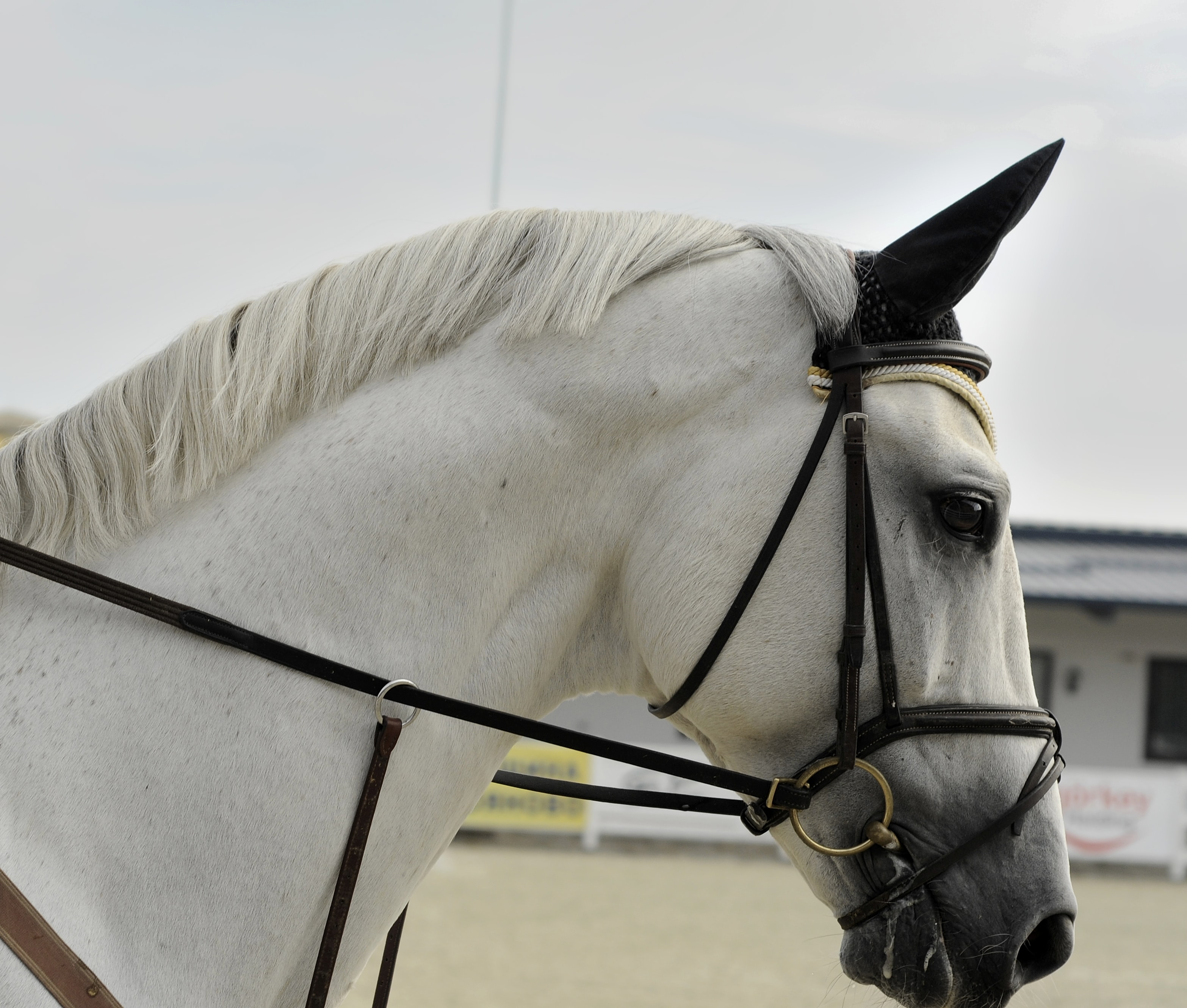 A close-up of the side of a gray horse's head with a bridle and an ear net