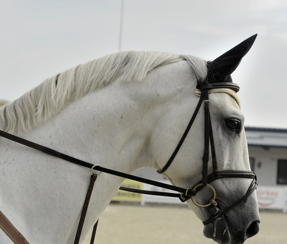 white horse wearing harness