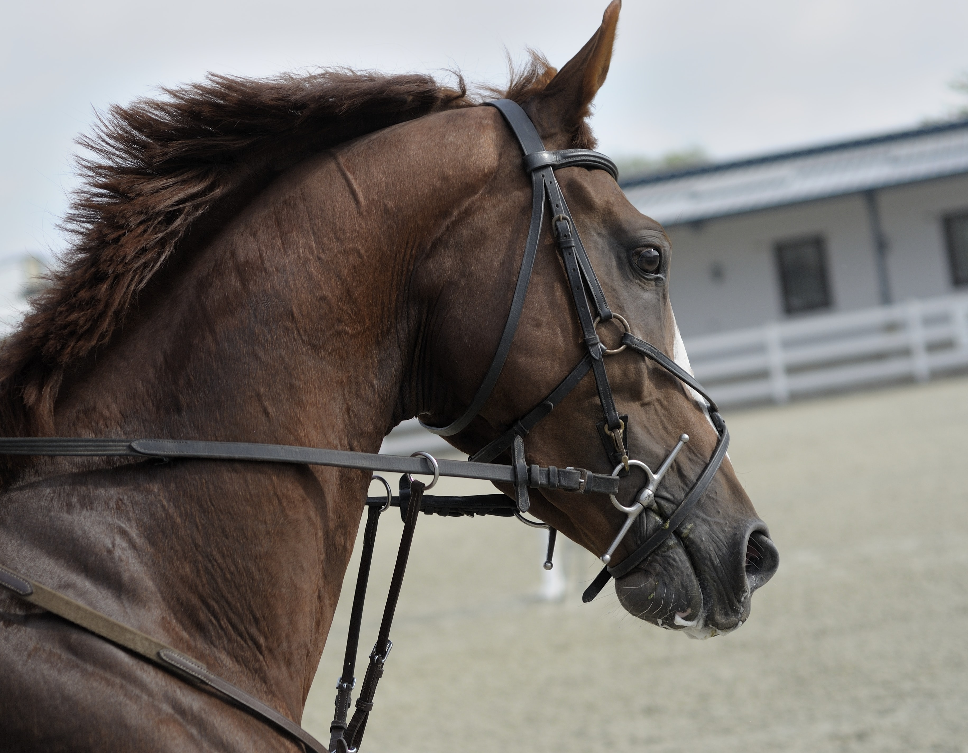 The side of a head of a brown stallion with a leather bridle
